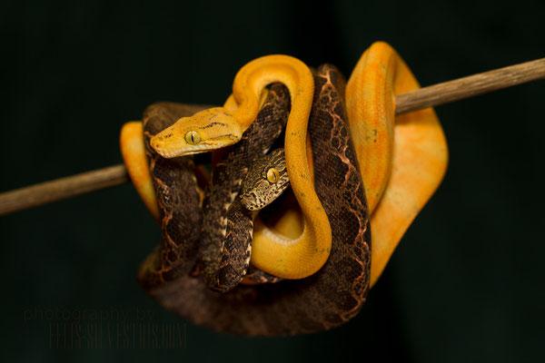 Corallus hortulanus juventil gelb/gardenphase
