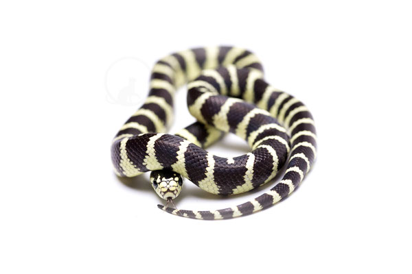 Lampropeltis getula california Dessert Phase