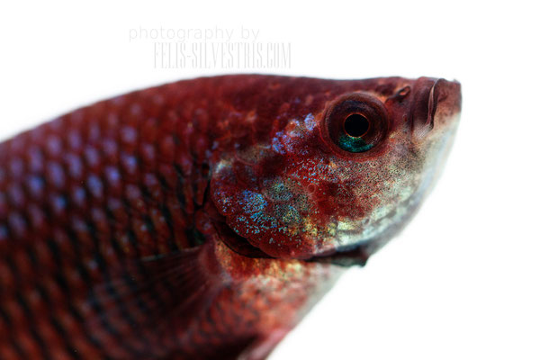 Portrait Betta splendens male Plakat multi/red