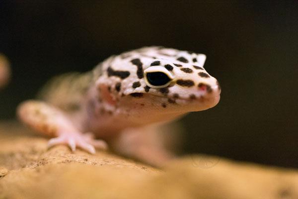 "Leopardgecko Portrait ""Wildfarben"""