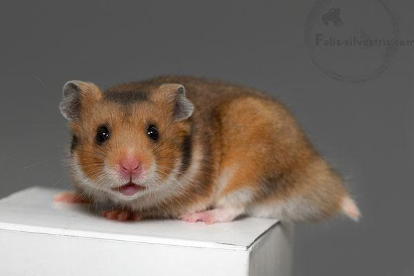 Syrian Hamster, Golden