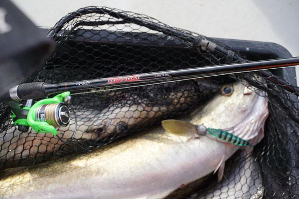 Tackle von Max: Rod Rodman Hellsfire NG 2,40 20-60gr. / Axxa Bass & Twitch NG 2000 und als Köder der Tiny Zander in 13cm mit 50gr Jighaken