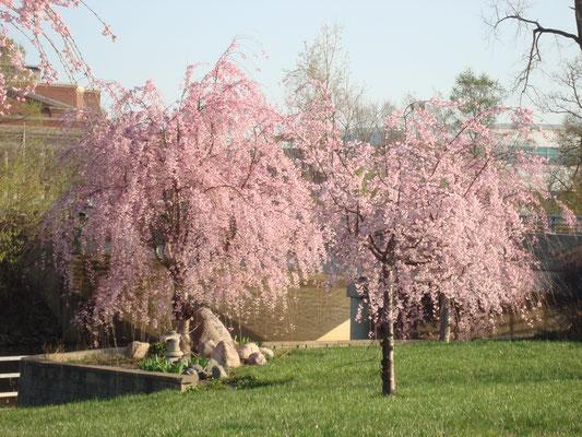 ライマ市の桜