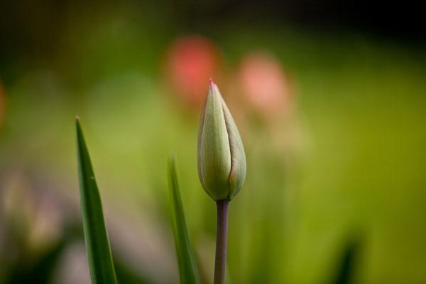 Tulpen | Brugg | Aargau