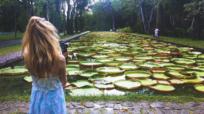Seerosen im Pampelmmoussess Botanischen Garten, Mauritius