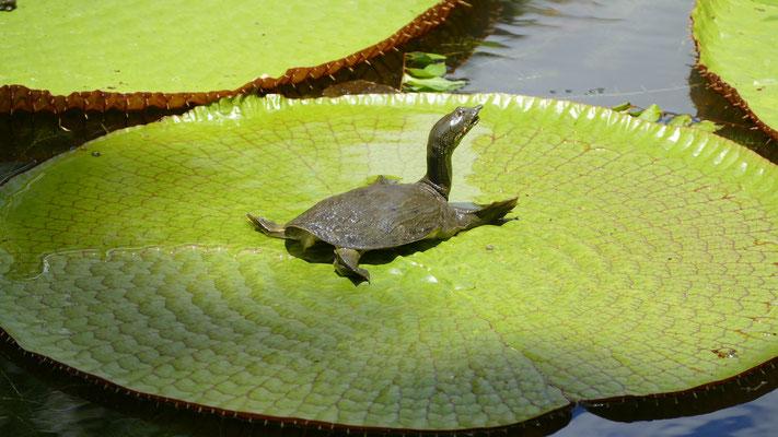 Schildkröte im Pampelmmoussess Botanischen Garten, Mauritius