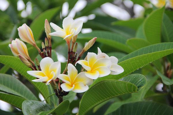 Frangipani Blume im Pampelmmoussess Botanischen Garten, Mauritius