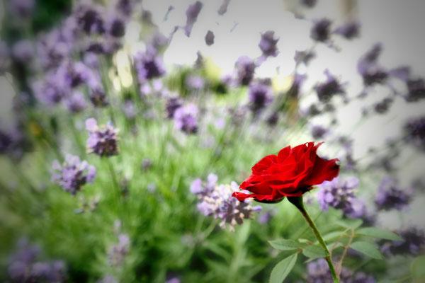 2015_06_24 Letzte Rose im Lavendelfeld