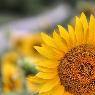 2017 Sonnenblume am Felde