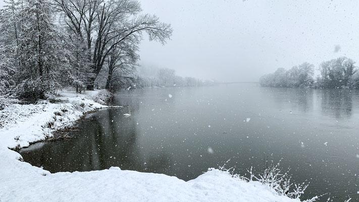 Ein Höckerschwan zieht seine Runden im winterlichen Rhein. Rheinsulz. 14.01.2021 (Foto PC)