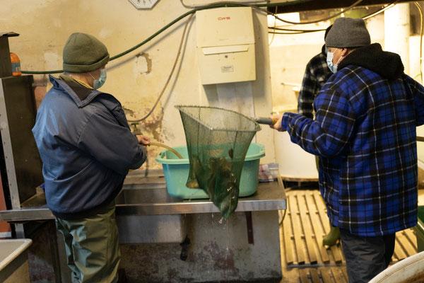 Die Elterntiere werden mit den Kescher aus dem Rundbecken herausgefischt. (Foto CC)