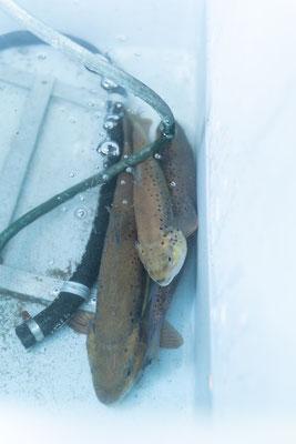 Die abgestreiften Forellen werden später wieder in ihr Heimatgewässer zurück gesetzt.  (Foto CC)