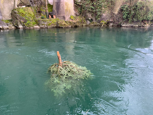 Laichbäume versenken. Februar 2021. (Foto PC)
