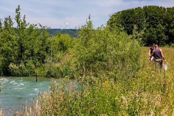 Junglachs-Besatz im Umgehungsgewässer Leibstadt. (Foto PC)