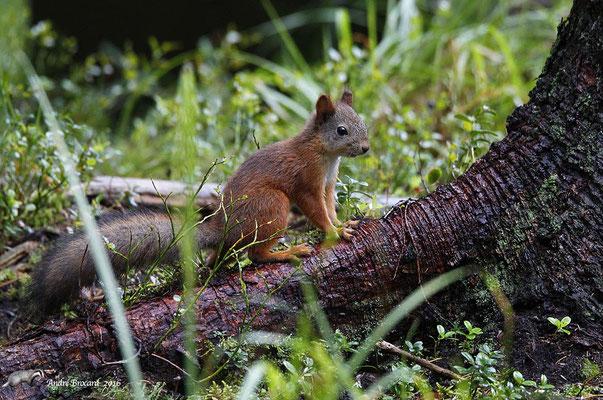 Écureuil de Carélie 3