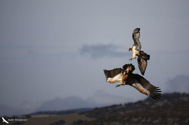 Interaction avec un vautour fauve 2