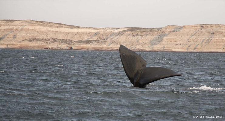 Baleine franche australe 4