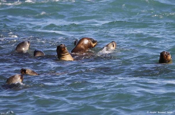 Otarie à fourrure ou Lion de mer 1