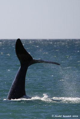 Baleine franche australe 12