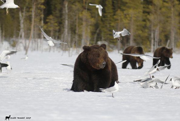 La marche des ours