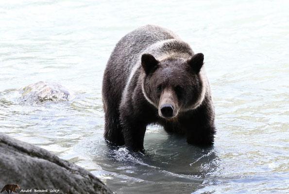 Grizzli 106