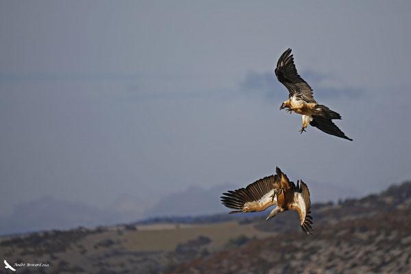 Interaction avec un vautour fauve 3