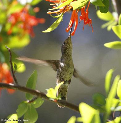 Colibri 4