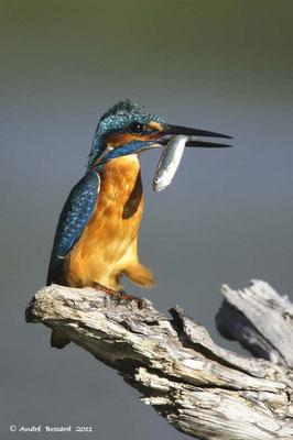 Martin pêcheur 6