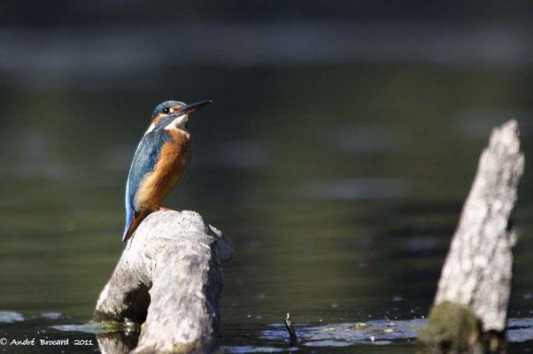 Martin pêcheur 9