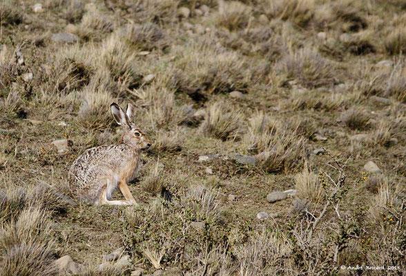 Lièvre de Patagonie