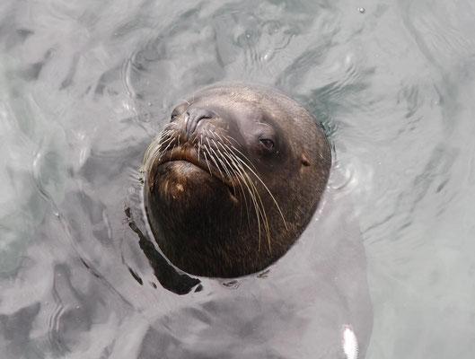 Otarie à fourrure ou Lion de mer 2