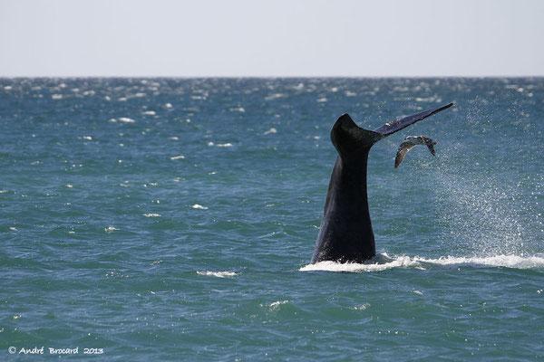 Baleine franche australe 11