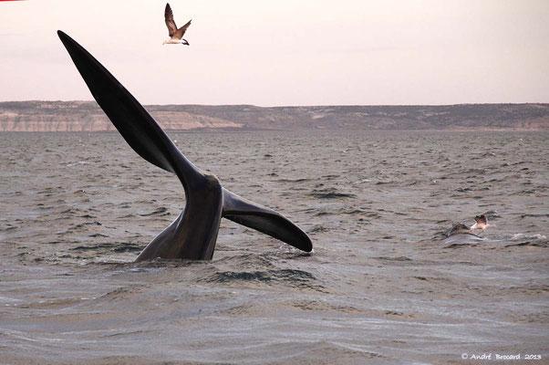 Baleine franche australe 6