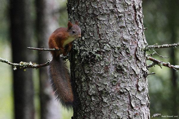 Écureuil de Carélie 1