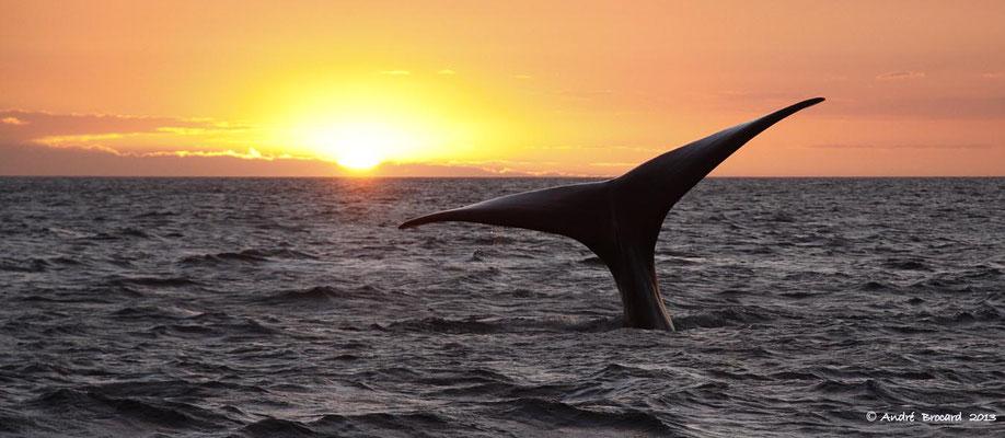 Baleine franche australe 8