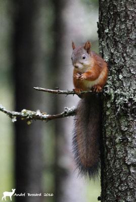 Écureuil de Carélie 2