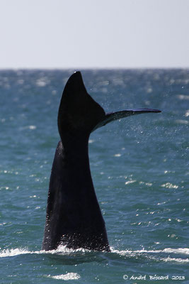 Baleine franche australe 9