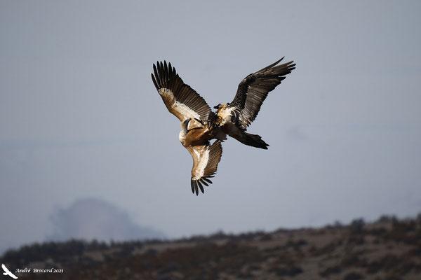 Interaction avec un vautour fauve 1