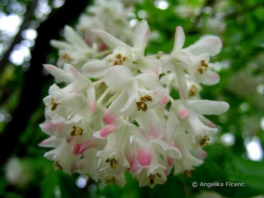 taphylea colchica - Kolchische Pimpernuss  © Mag. Angelika Ficenc