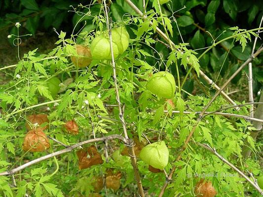 Cardiospermum halicacabum - Ballonrebe, unreife Früchte