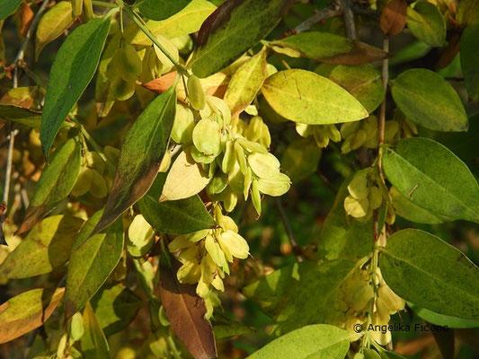 Fontanesia phillyreoides ssp. fortuenei - Glattrandige Fontanesie, , Laubblätter  © Mag. Angelika Ficenc