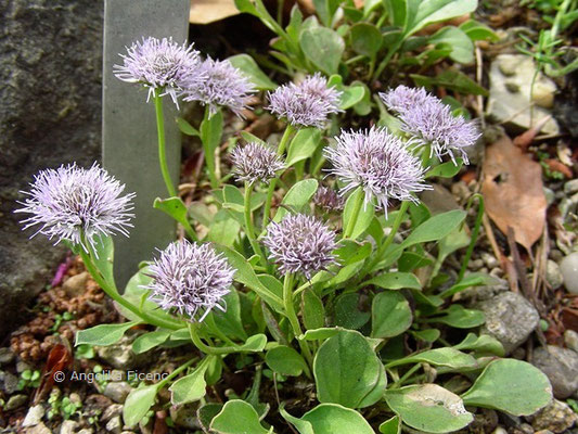 Globularia incarnescens - Kugelblume