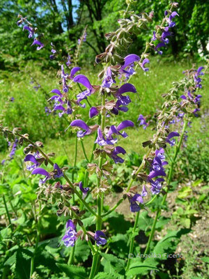 Salvia transsylvanica  © Mag. Angelika Ficenc