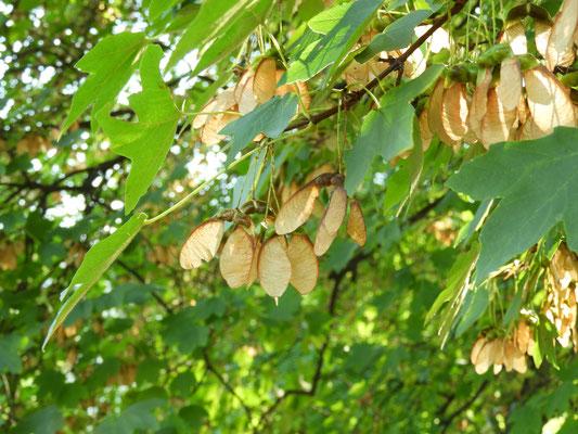 Acer opulus ssp. obtusatum cf. - Bosnischer Ahorn,  reife Früchte