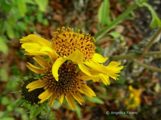 Vertesina encelioides - Goldener Kronbart  © Mag. Angelika Ficenc