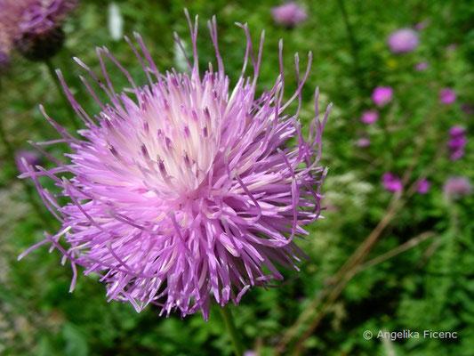 Serratula lycopifolia - Einkopf-Zwitterscharte  © Mag. Angelika Ficenc