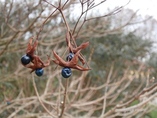 Clerodendrum trichotomum - Japanischer Losstrauch, Früchte  © Mag. Angelika Ficenc