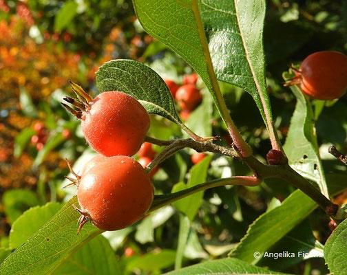 Crataegus x lavallei - Lederblättriger Weißdorn, Früchte
