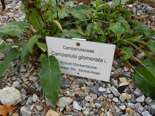 Campanula glomerata - Knäuel Glockenblume
