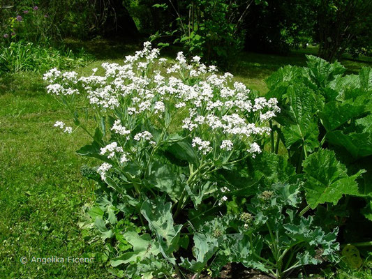 Crambe maritima - Meerkohl, Blütenstand